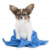 Papillon Puppy In A Towel