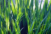 Green reed leaves