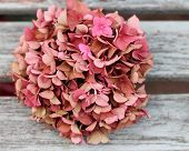 stock photo of hydrangea  - Fading pink hydrangea flower head on shabby chic wooden bench, an autumnal , vintage feel, A faded romantic, grunge floral image with shallow depth of field