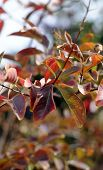 foto of crepe myrtle  - Close up of leaves of a Crepe Myrtle Lagerstroemia indica or lipstick tree leaves turning red in mid Autumn - JPG