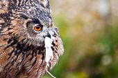 Eurasian Eagle-Owl eating