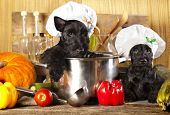 Scotch terrier kitchen boy in a saucepan, cook puppies