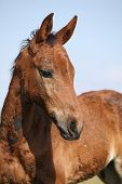Portrait Of Nice Brown Filly Looking