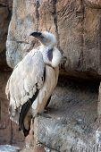 Cape Vulture