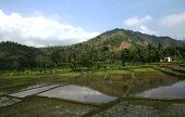 tropical rice fields