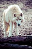 picture of horrific  - Arctic white wolf in vienna zoo - JPG