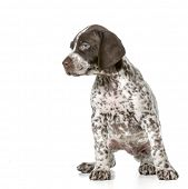 german shorthaired pointer puppy sitting isolated on white background