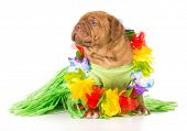 stock photo of dogue de bordeaux  - hula dog  - JPG
