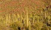 Постер, плакат: Saguaro Cacti Forest Tucson AZ