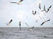 Brown Headed Gull On Flying.(larus Brunnicecephalus)