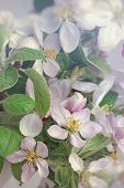 Closeup of apple blossom flowers with soft filtered light