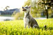 Alaskan Klee Kai Welpen sitzen auf Gras Nachschlagen