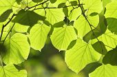 Green Leaves With Backlight