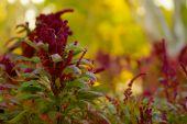 Puffy Burgandy Flowers