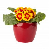 Primula Flower In Red Pot