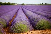 Huge Lavender Field In Vaucluse, Provence, France.