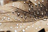 Water Drops On Brown Leaf