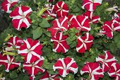 Red And White Petunia Flowers