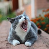 tired cat opened its mouth yawning