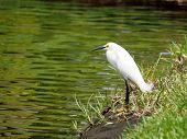 Snowy Egret with Open Beak by Lake