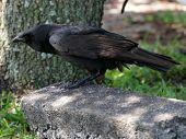 American Crow Leaning Forward