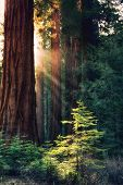 Early morning sunlight in the Sequoias of Mariposa Grove, Yosemite National Park, California, USA. R