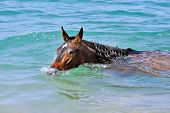 Horse swims in the sea