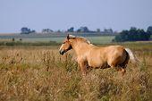 Chestnut horse running trot