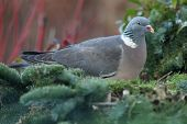 wood pigeon(Columba palumbus) feeding in a winter garden