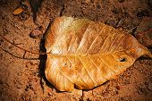Dry Bo Leaves