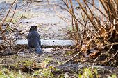male blackbird  in spring