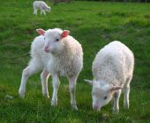 Young sheeps