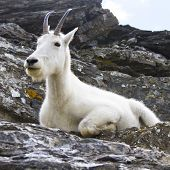 Mountain Goat On Cliffs, Montana Usa