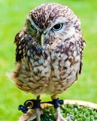 Close Up Portrait Of Little Owl Against Green Background
