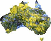Map Of Australia With Wattle Tree In Flower, The National Floral Emblem Of Australia.
