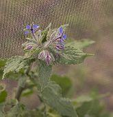 Organic Gardening, Borage Flowering