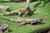 Iguanas enjoying the summer weather at a park