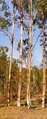 stock photo of eucalyptus trees  - Australian Panoramic Landscape Tall Gum Trees panorama with spotted gum eucalyptus trees - JPG