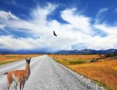 Above the dirt road on the pampa Andean condor soars. Curious llama watching the road. On the horizo