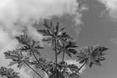 Papaya Plant.