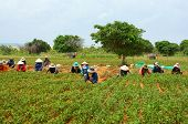 Group Asia Farmer Working Harvest Peanut