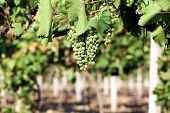 Grape plantation in summer