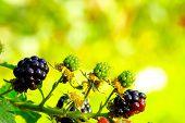 blackberries in a garden