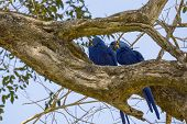 Blue Macaw in Pantanal