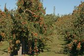 Braeburn Apple Orchard