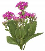 Drawing of Pink Kalanchoe flower
