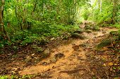 Muddy Jungle Path In Panama