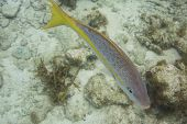 Yellowtail Snapper Swims Around Reef