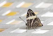 Pretty Zebra Butterfly