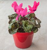 Pink Cyclamen In A Red Pot
